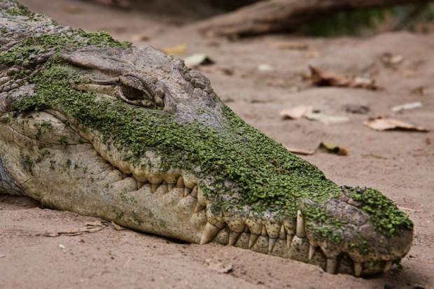 crocodile oil beauty industry preen