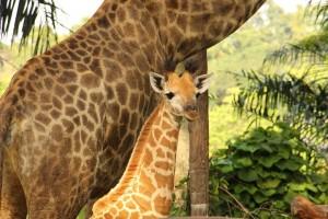 Singapore Zoo giraffe Preen