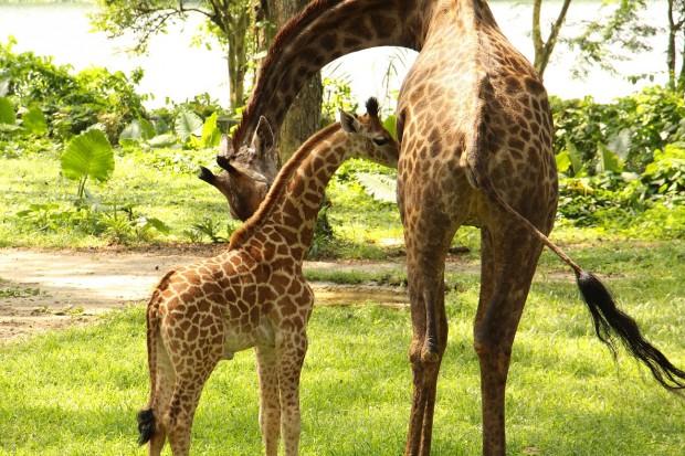 Singapore Zoo Preen