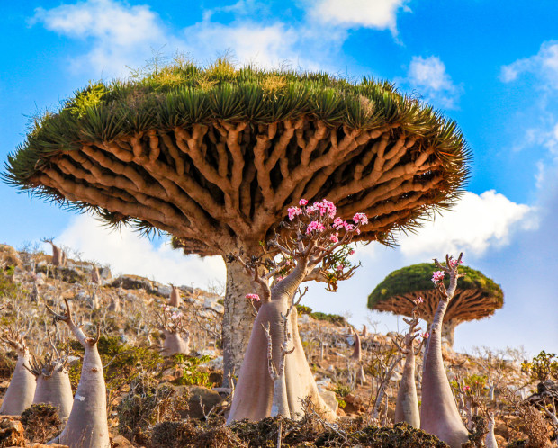 Dragon's Blood Trees in Yemen (Aethereal Engineer)